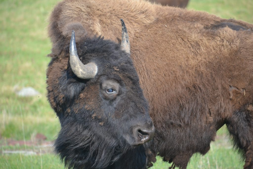 Bison at Minneopa State Park